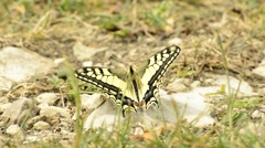 Swallowtail butterfly, Papilio machaon Stock Footage