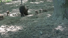 4k Cute young boars with mother boar in urban landscape Stock Footage