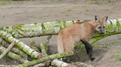 The maned wolf, Chrysocyon brachyurus 02 Stock Footage