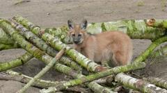 The maned wolf, Chrysocyon brachyurus 03 Stock Footage