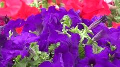 Flowers petunia Stock Footage