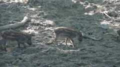 Stock Video Footage of Cute young boars group close up in dry sandy forest landscape