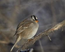 White-crowned sparrow (Zonotrichia leucophrys), Bosque del Apache National - stock photo