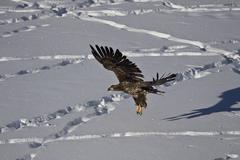 Juvenile golden eagle (Aquila chrysaetos) in flight over snow in the winter, - stock photo