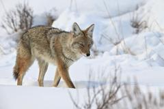 Coyote (Canis latrans) in the snow in winter, Yellowstone National Park, Kuvituskuvat
