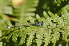 Male blue-tailed damselfly (Ischnura elegans) resting on a bracken frond, Stock Photos