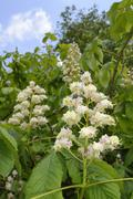 Horse chestnut (Aesculus hippocastanum) flower candelabras, Wiltshire, England, Stock Photos