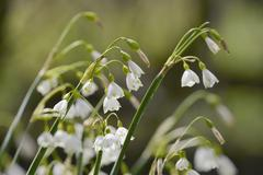 Summer snowflake (Loddon lily (Leucojum aestivum) flowering in damp riverside Stock Photos