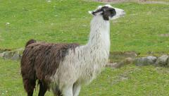 The llama lama glama 02 Stock Footage
