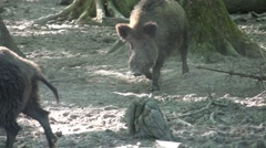 Stock Video Footage of 4k Big dirty wild boar tusker between trees on dry sandy ground