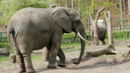 Stock Video Footage of The African bush elephant at zoo (loxodonta africana) 01