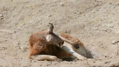 The red kangaroo. Macropus rufus Stock Footage