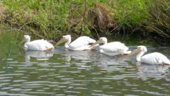 Group of great white pelicans on a lake. Pelecanus onocrotalus Stock Footage