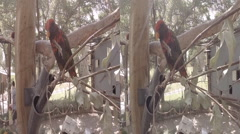 Rainbow Lorikeet Scratching & Eating 3D Stock Footage