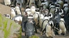 The African penguin. Spheniscus demersus Stock Footage