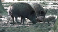 Jousting wild boars and hungry cute young boars close up HD Footage