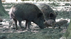 Stock Video Footage of Jousting wild boars and hungry cute young boars close up