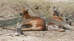 The red kangaroo family is resting in shadow on the desert. Macropus rufus Stock Footage