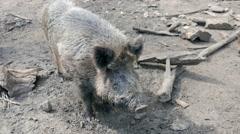 The wild boar (Sus scrofa) attack cameraman at zoo Stock Footage