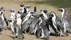 The African penguin (Spheniscus demersus) feeding time at zoo Stock Footage
