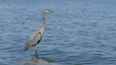 Great Blue Heron on Water Rock - Slow M0tion Stock Footage