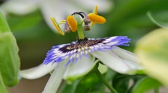 Garden passion flower - stock footage