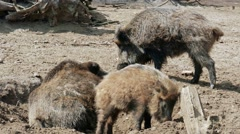 Group of wild boars (Sus scrofa) Stock Footage