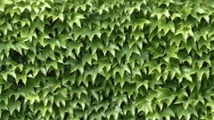 Wall Leaves - Summer Green - 03 - Background Loop Stock Footage