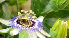 Garden passion flower - stock footage
