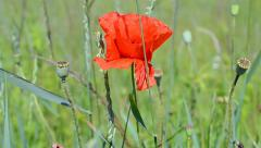 Poppy flowers closeup waving on the wind, summer environment. Stock Footage