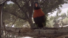 Rainbow Lorikeet Closeup 2D Stock Footage