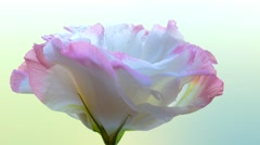 4k, Natural Chinese rose in the dew rotation. Macro Stock Footage