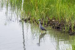 Yellow Crowned Night Heron - stock photo