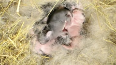 Very young rabbits in farm Stock Footage