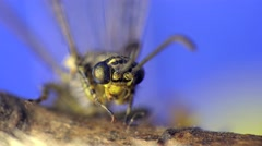 Euphaea fraseri, female, Damselfly dragonfly insect macro 4k Stock Footage