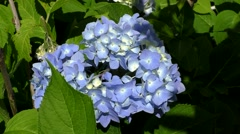Hydrangea, blue summertime flowers - stock footage