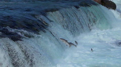 Salmon Jumping Falls & A Brown Bear Carrying a Salmon He Caught Stock Footage