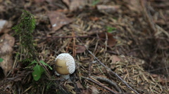 Amanita pantherina , Mushrooms in the wood. Stock Footage
