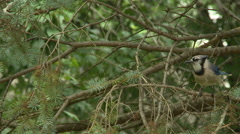 BlueJay in Spruce Tree 11 Stock Footage