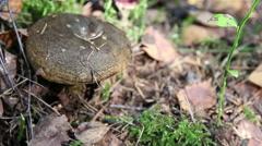 Lactarius necator, Mushrooms in the wood. Stock Footage