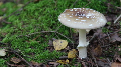 Amanita pantherina, Mushrooms in the wood. Stock Footage