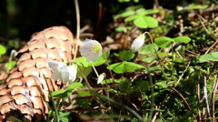 Oxalis acetosella flowers Stock Footage