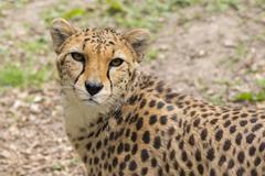 Cheetah (Acinonyx jubatus) Kuvituskuvat