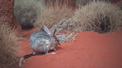 Australian bilby eating Stock Footage
