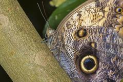 Giant Owls butterfly Stock Photos