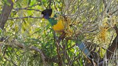 Australian ringneck parrot Stock Footage