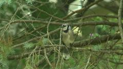 BlueJay in Spruce Tree 9 Stock Footage