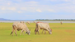 livestock in field - stock footage