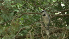 BlueJay in Spruce Tree 7 Stock Footage