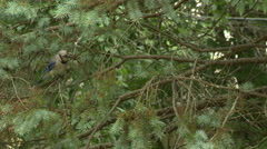 BlueJay in Spruce Tree 2 Stock Footage